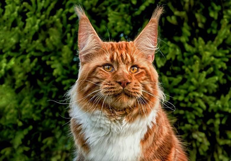 Мейн-кун: самая крупная порода кошек. что вас ждёт, если решитесь?