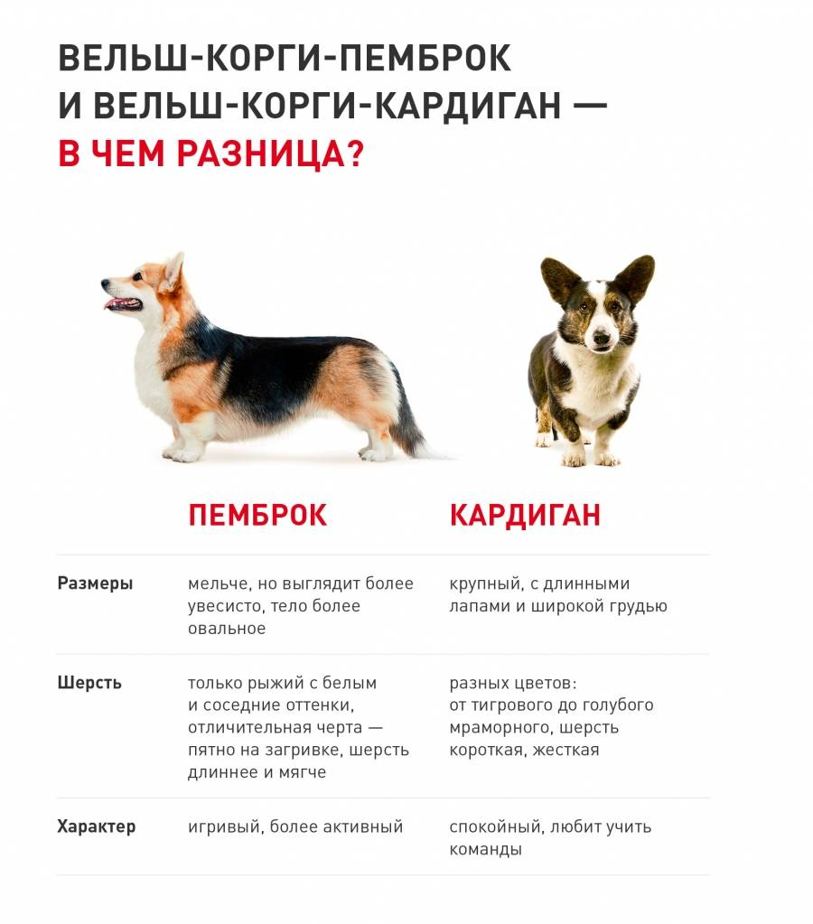 Порода пастушьих собак – вельш корги кардиган