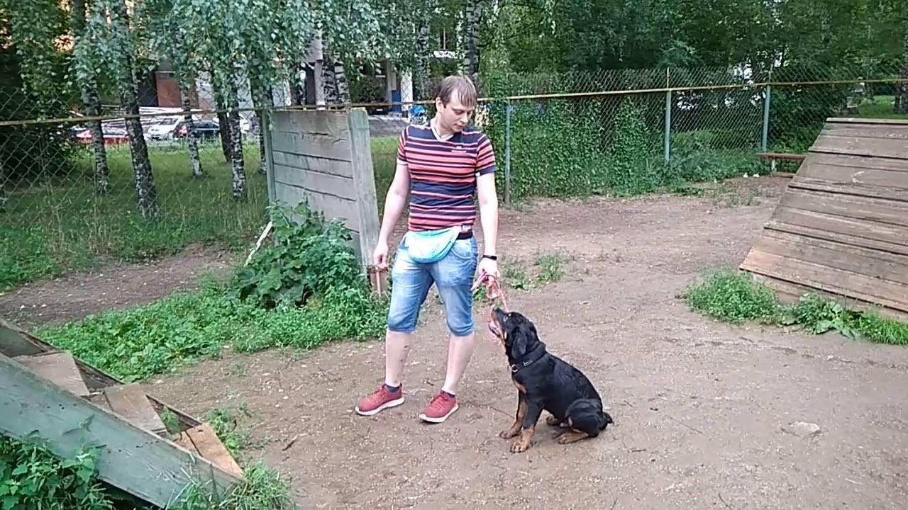 Как воспитывать ротвейлера: щенка и взрослую собаку