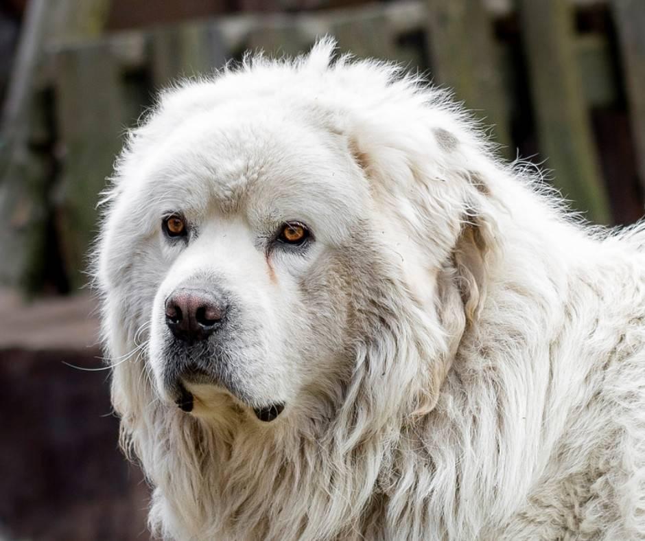 Польская подгалянская овчарка (польская горная собака): характер, описание породы, плюсы и минусы