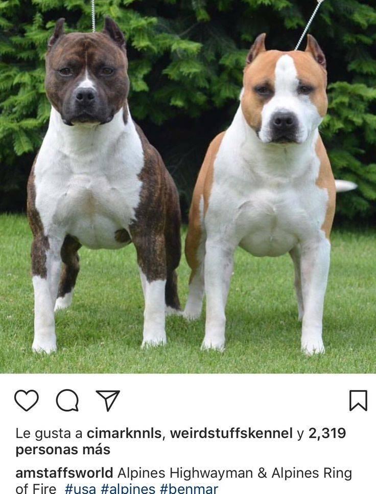 Американский стаффордширский терьер, или стаффтерьер: описание породы, характер собаки и щенка, фото, цена