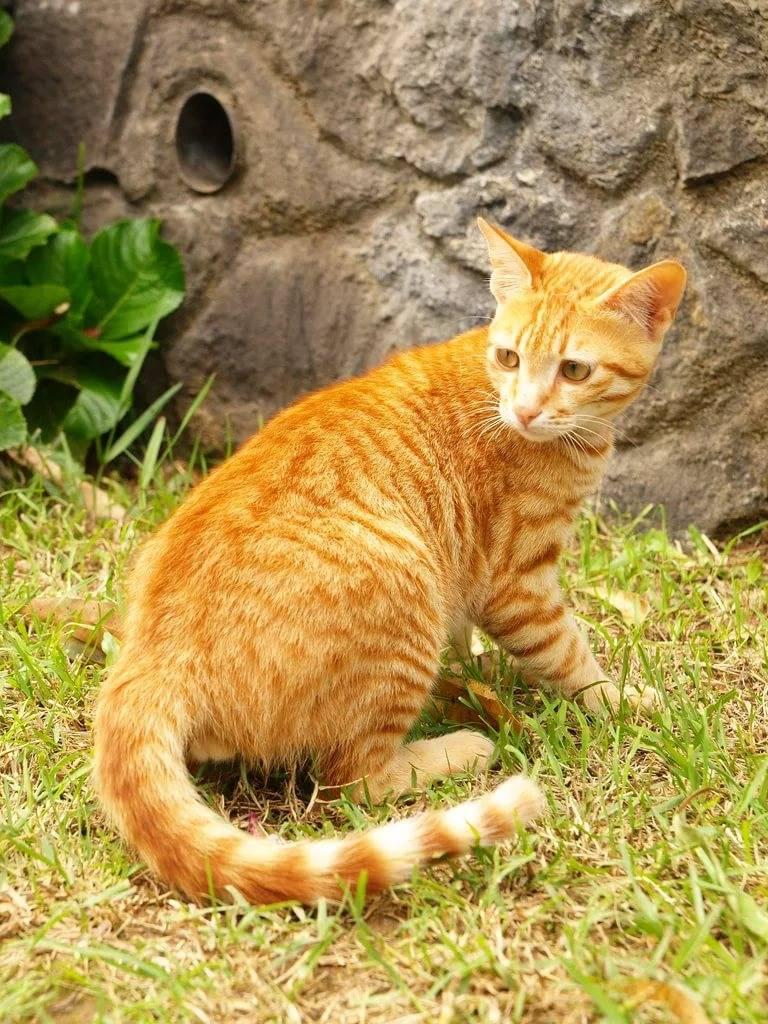Цейлонские кошки: описание породы и особенности содержания