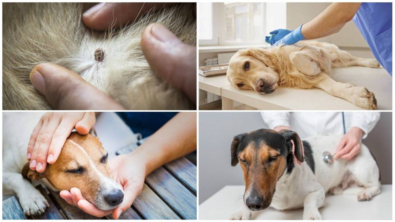 Что такое пироплазмоз у собак симптомы, лечение, последствия и признаки