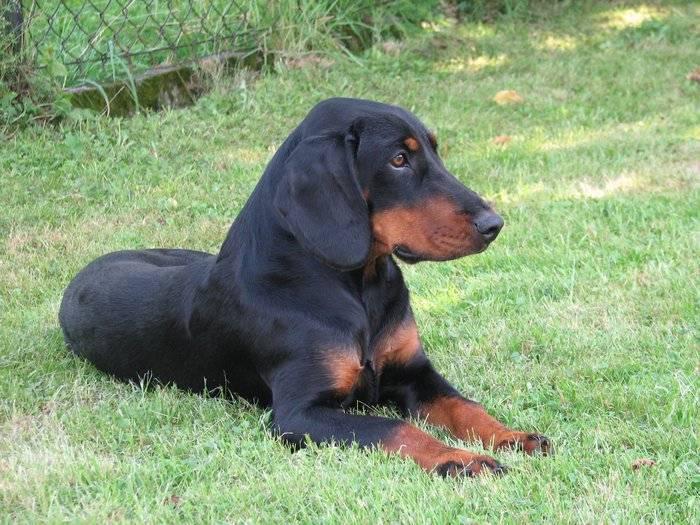 Словацкая гончая (копов). собаки чистыx кровей