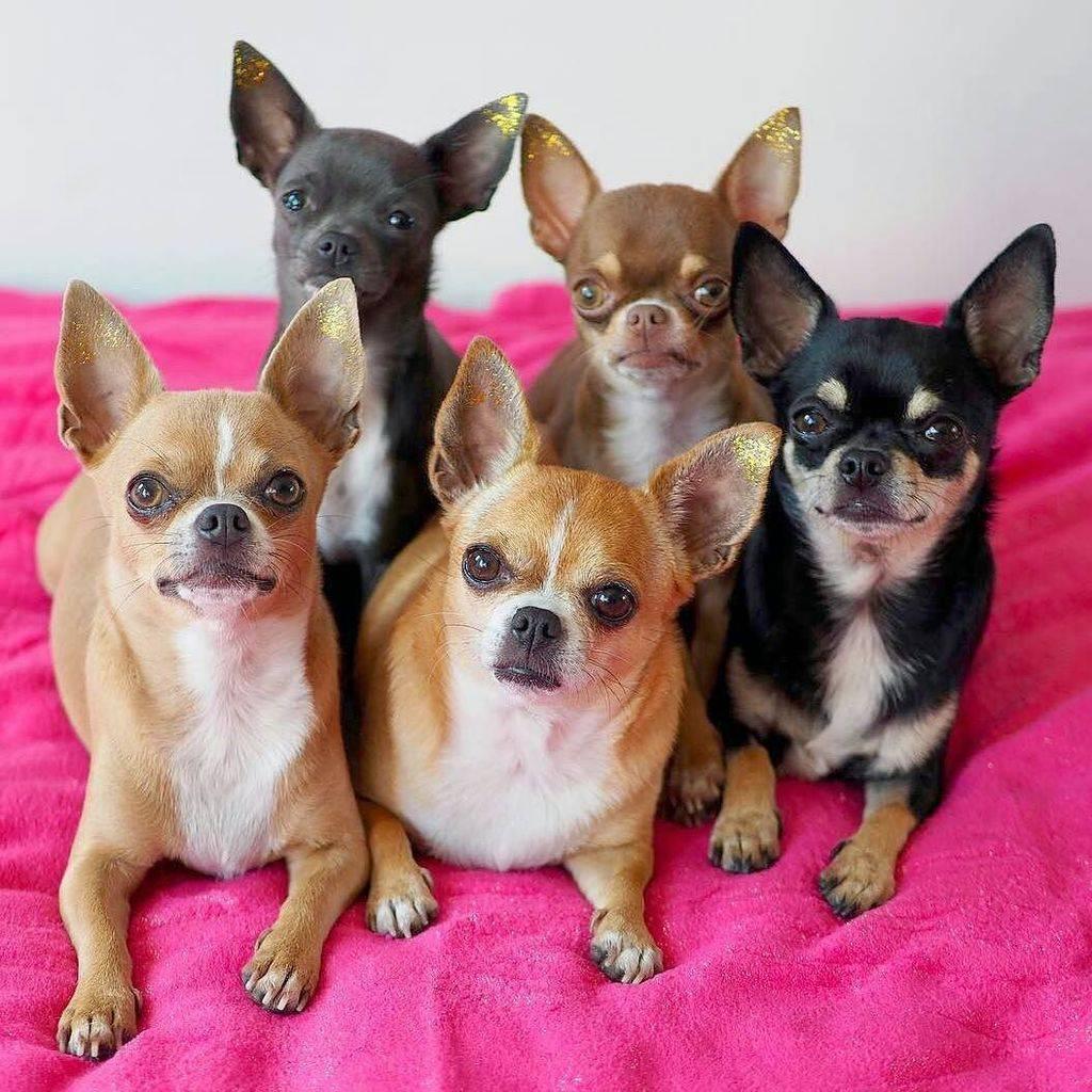 Чихуахуа - 92 фото самой маленькой, карликовой породы собак