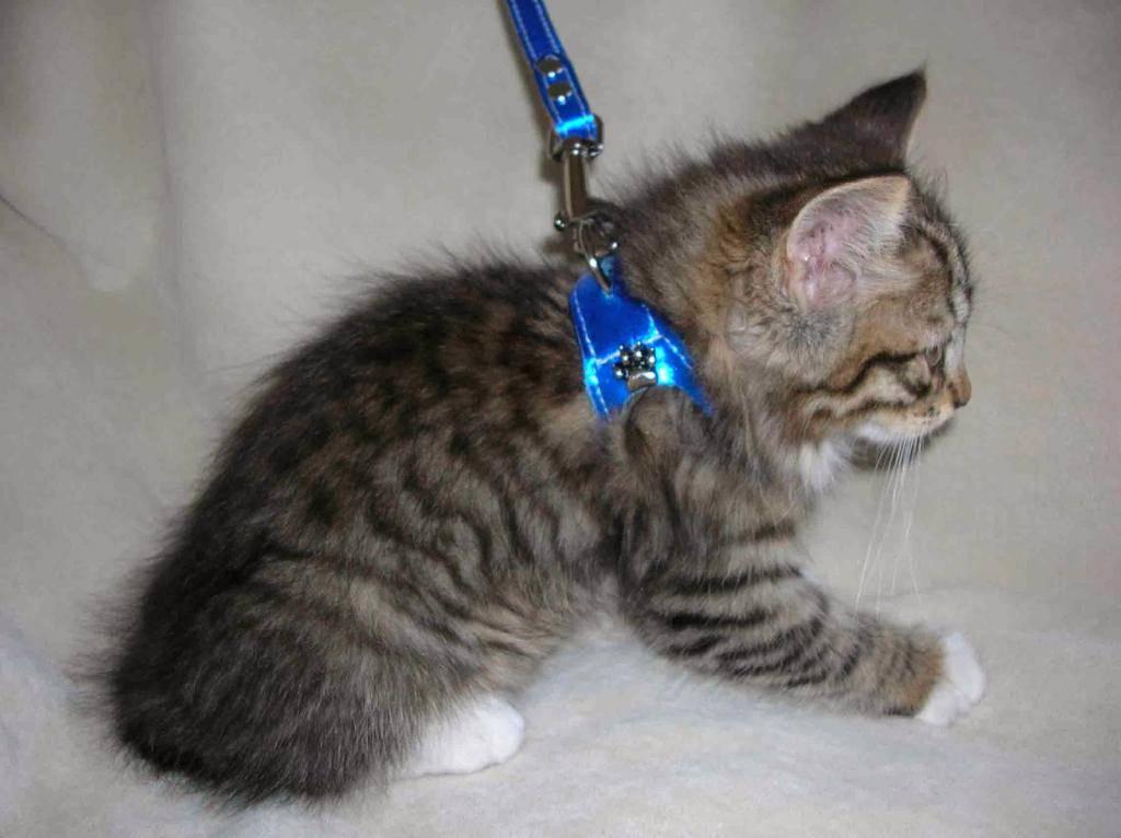 Как правильно одевать шлейку на кошку для прогулки, а также — как ее собрать