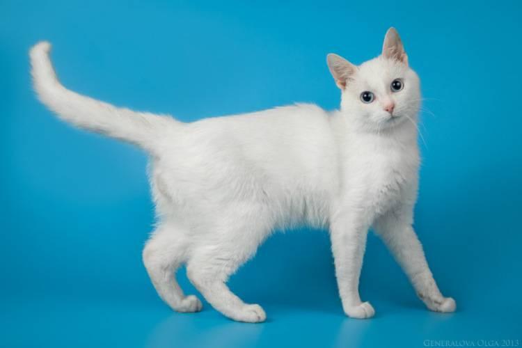 Анатолийская кошка: фото, описание, характер, содержание, отзывы
