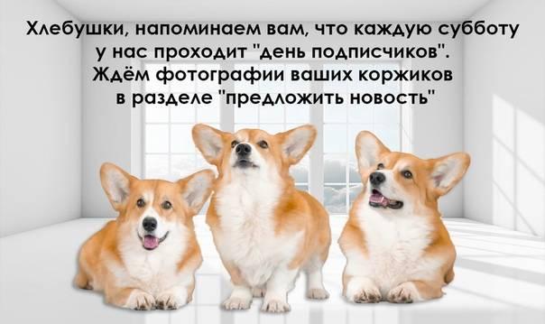 O щенках вельш-корги: информация и советы | vseocorgi