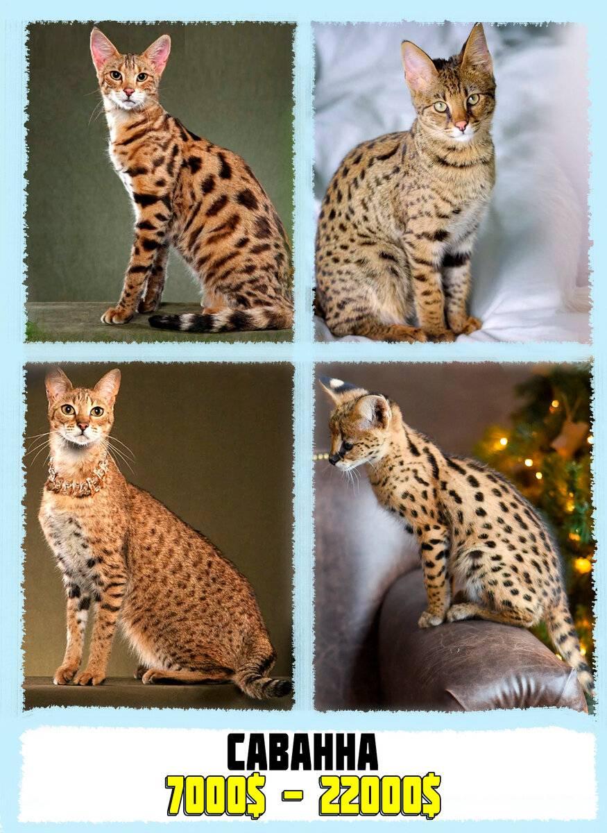 Топ 10 самые дорогие породы кошек в мире - лучшие топ 10