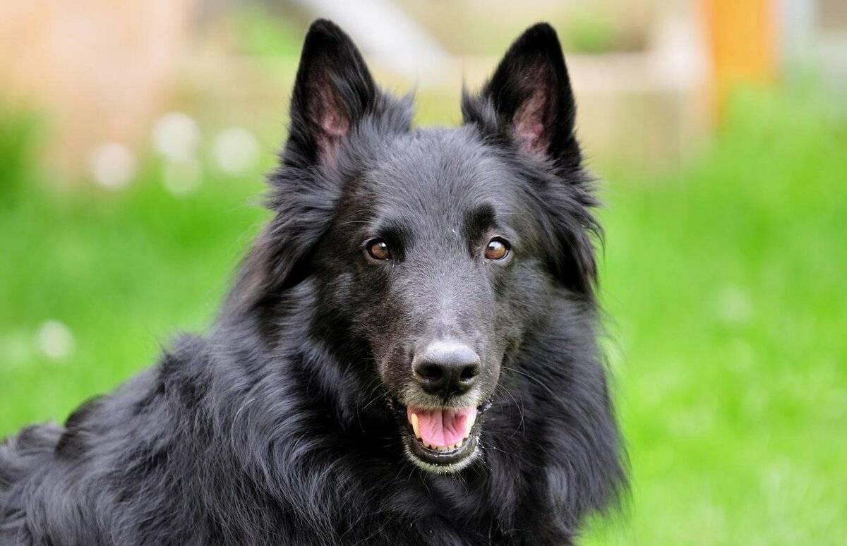 Бельгийская овчарка: описание породы, характер собаки и щенка, фото, цена