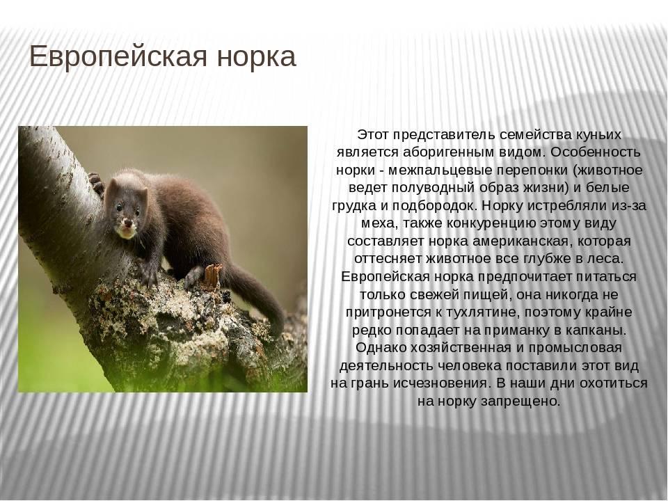 Домашняя лиса - фенек и другие виды, окрасы, чем кормить, уход и содержание, плюсы и минусы, отзывы владельцев