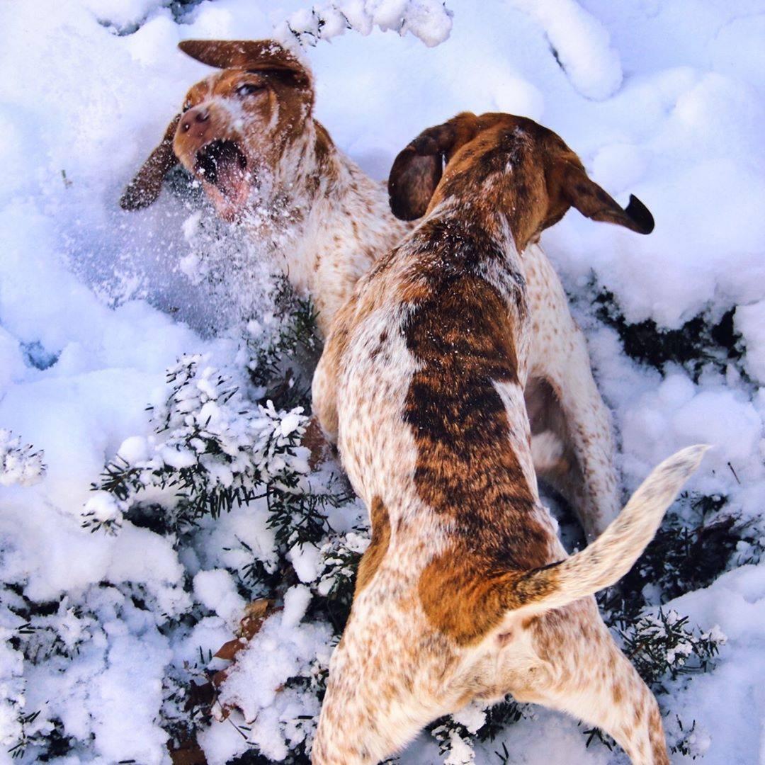 Русская пегая гончая (англо-русская) — фото, описание породы собак и характер
