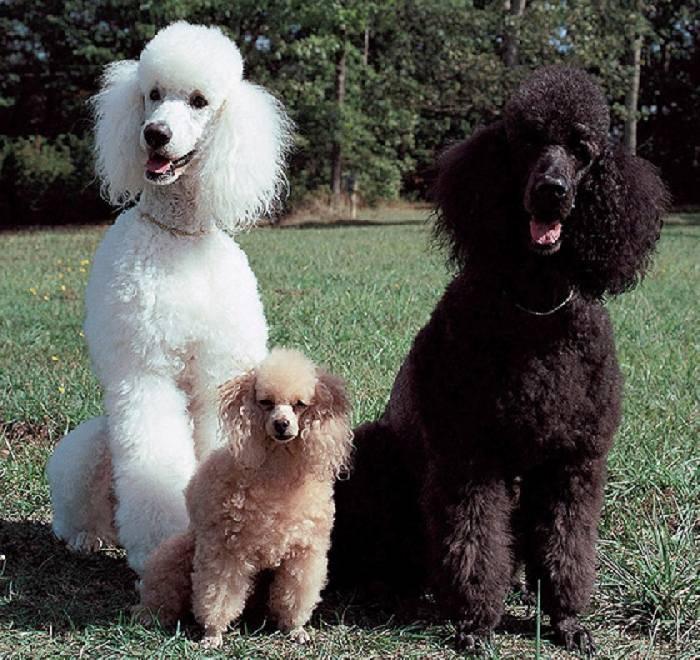 Той-пудель: игрушечный пес, звезда цирка или собака-полицейский