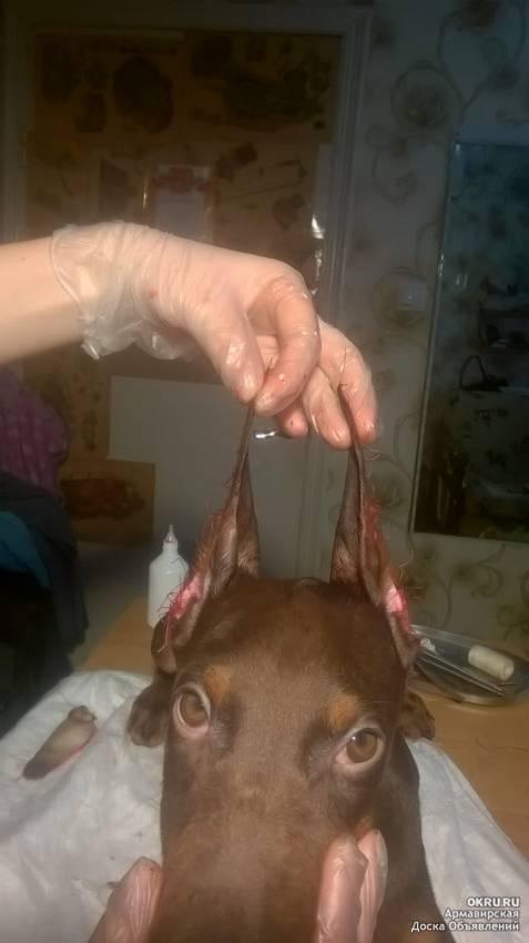 Доберман с некупированными ушами: за и против операции