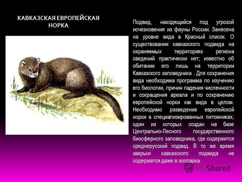 Хорьки как домашние животные: плюсы и минусы - ferrethome.ru