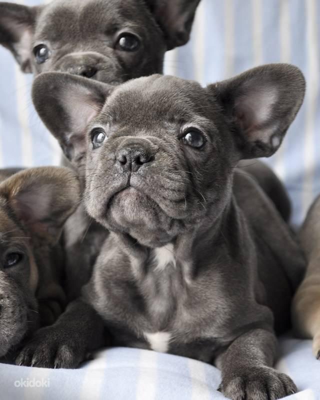 Сколько лет живут французские бульдоги: средняя продолжительность жизни | собаки мира