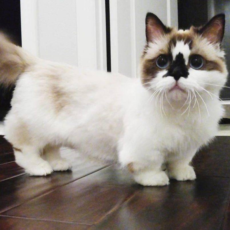 Кошки с короткими лапами: породы