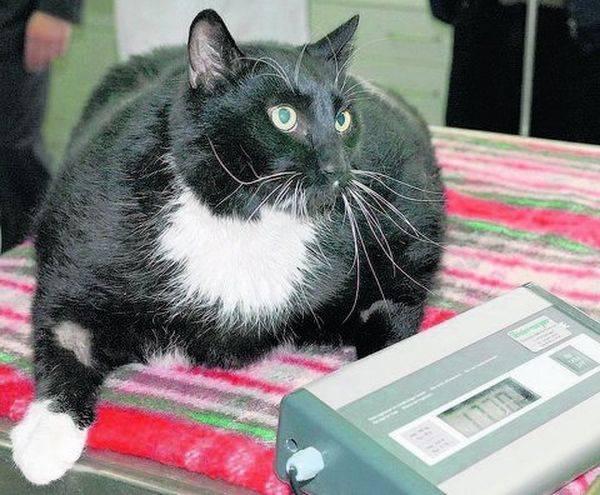 Сахарный диабет у кошек:  причины, симптомы и лечение