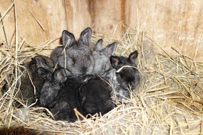 Почему крольчиха съедает своих крольчат: причины и что делать?