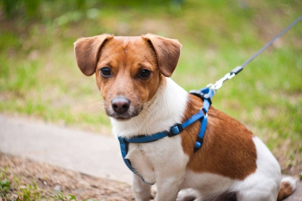 Описание породы «джек-рассел-терьер»: особенности характера собаки и отзывы владельцев