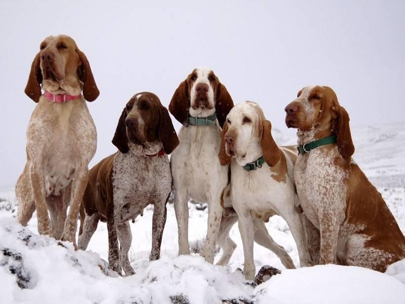 Древнейшая порода собак итальянский бракк: как найти к ней подход