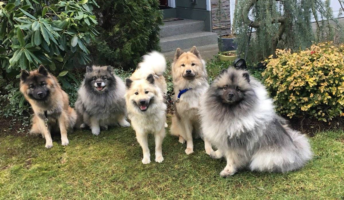 Финский шпиц: фото, цена на щенков, описание породы, отличия от других собак, характер