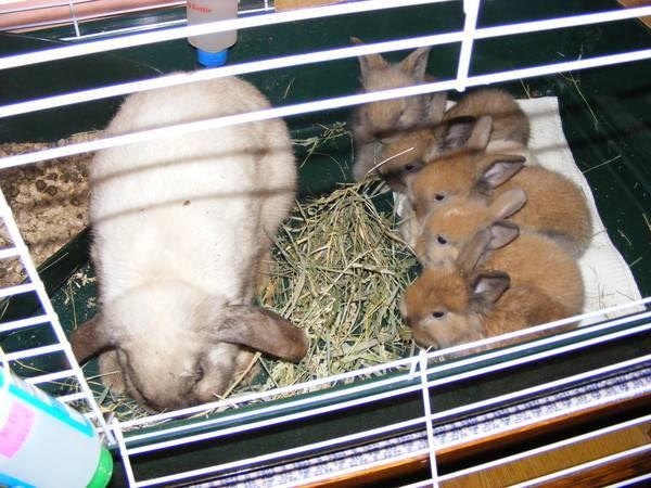 Уход и содержание декоративных кроликов в домашних условиях