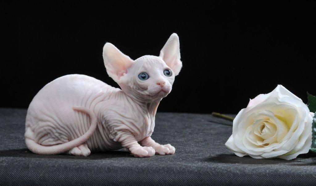 Самые маленькие кошки в мире: топ-10 домашних пород с фото и названиями
