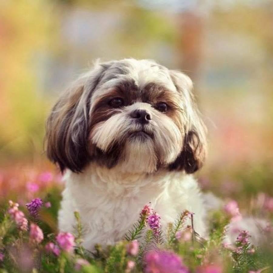 Ши-тцу: фото, видео, описание породы собак и их щенков, стандарт и характеристика породы