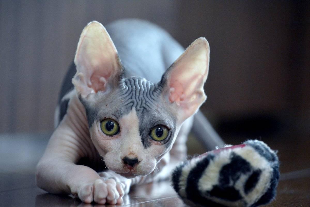 Лысые кошки: особенности содержания, фото, уход