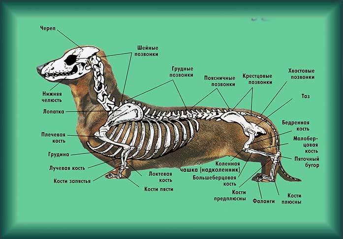Анатомические особенности строения скелета, черепа, мышц и органов у собак