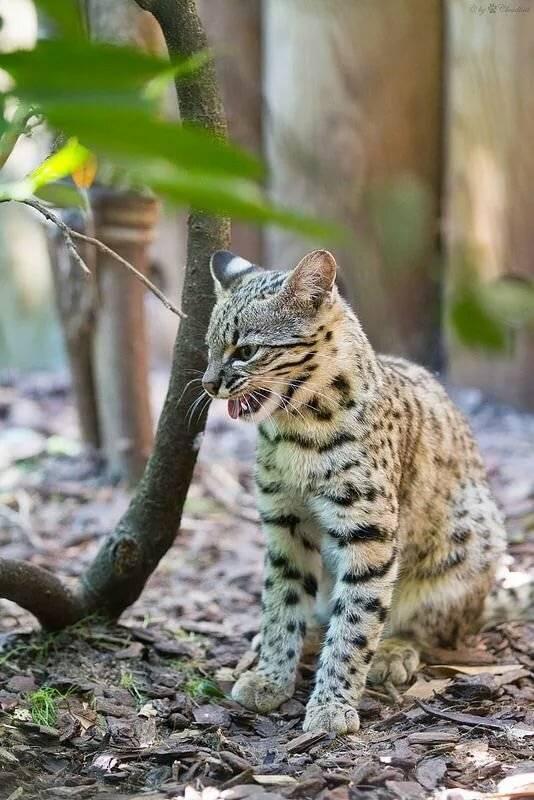 Кошка жоффруа: маленькая южноамериканская красавица