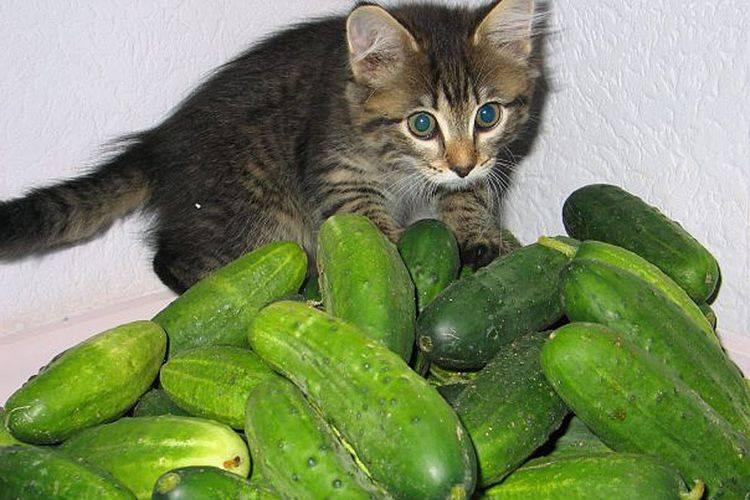 Кошачья огурцофобия: почему же кошки боятся огурцов? — 4 лапки