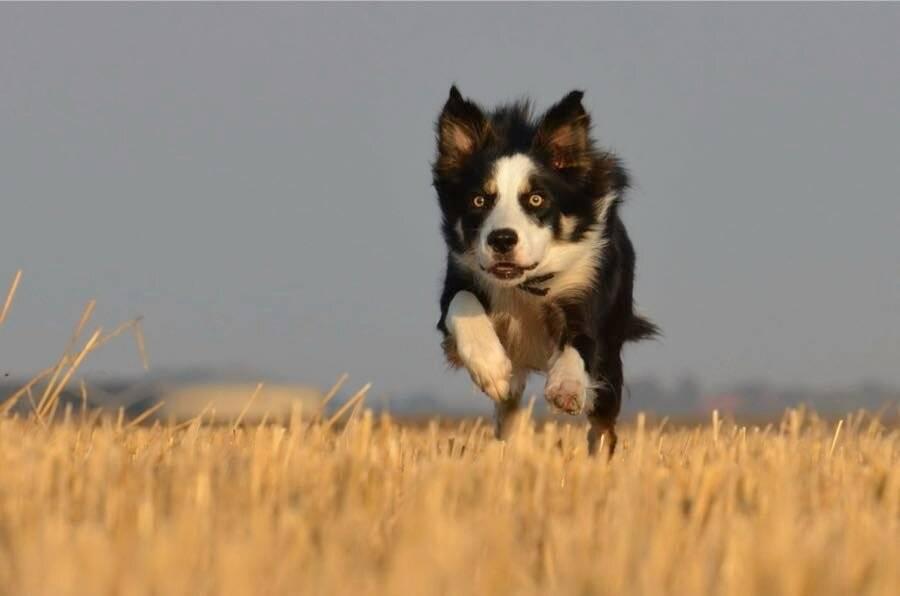 Самые умные породы собак. кто и почему включен в рейтинг?