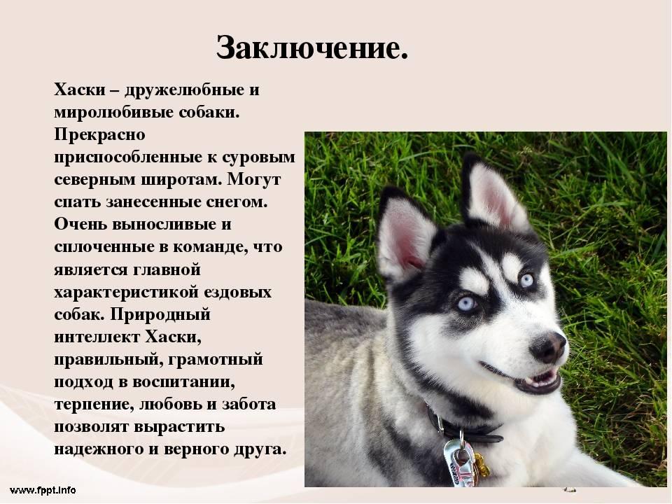 Сибирский хаски - 120 красивых фото в обзоре породы от а до я!