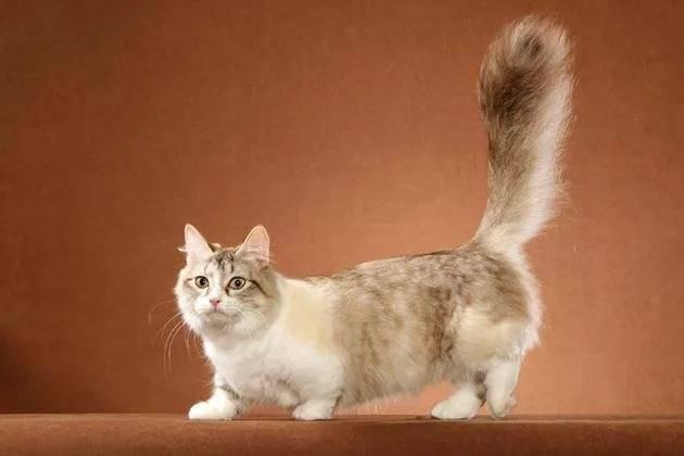 Порода кошек манчкин: описание внешнего вида, фото, особенности характера и поведения, как выбрать котенка, отзывы владельцев кота