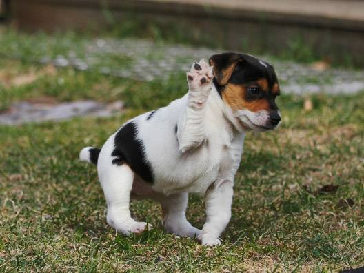Фотографии, характеристики и факты датско-шведской породы фермерских собак