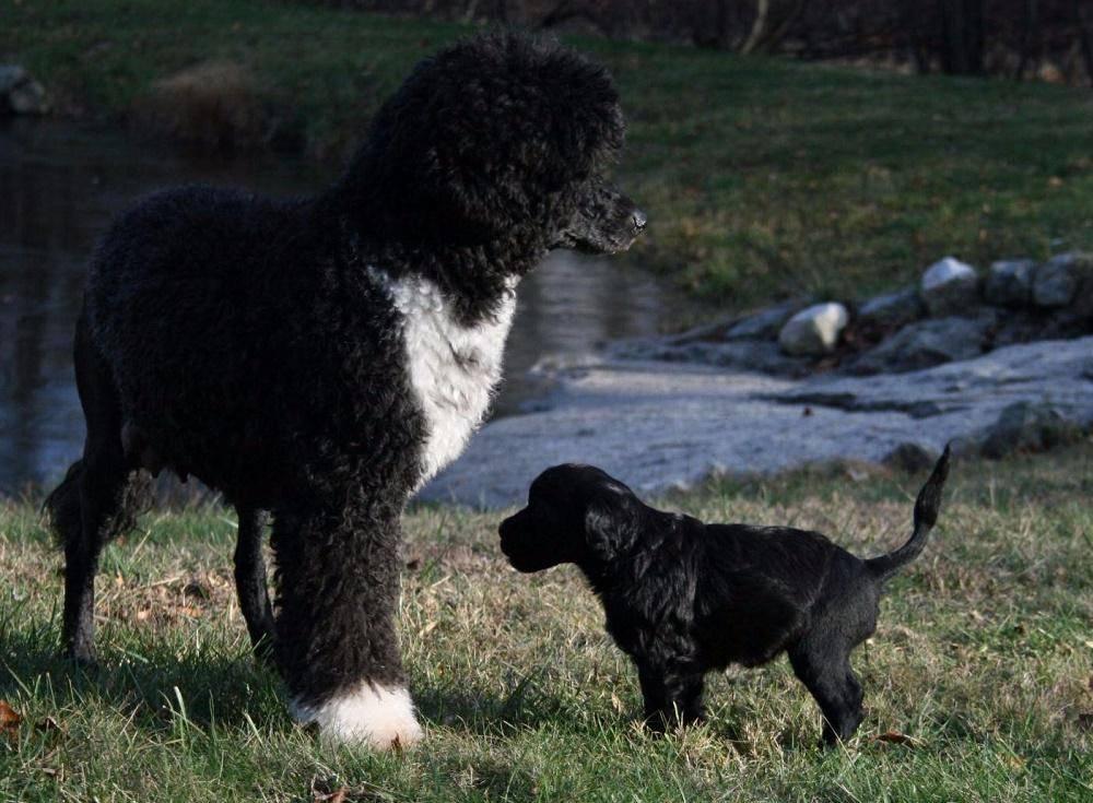 Характеристика португальской водяной породы собак: внешность и характер