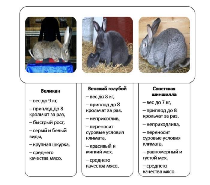 Норка: американский и европейский виды животного