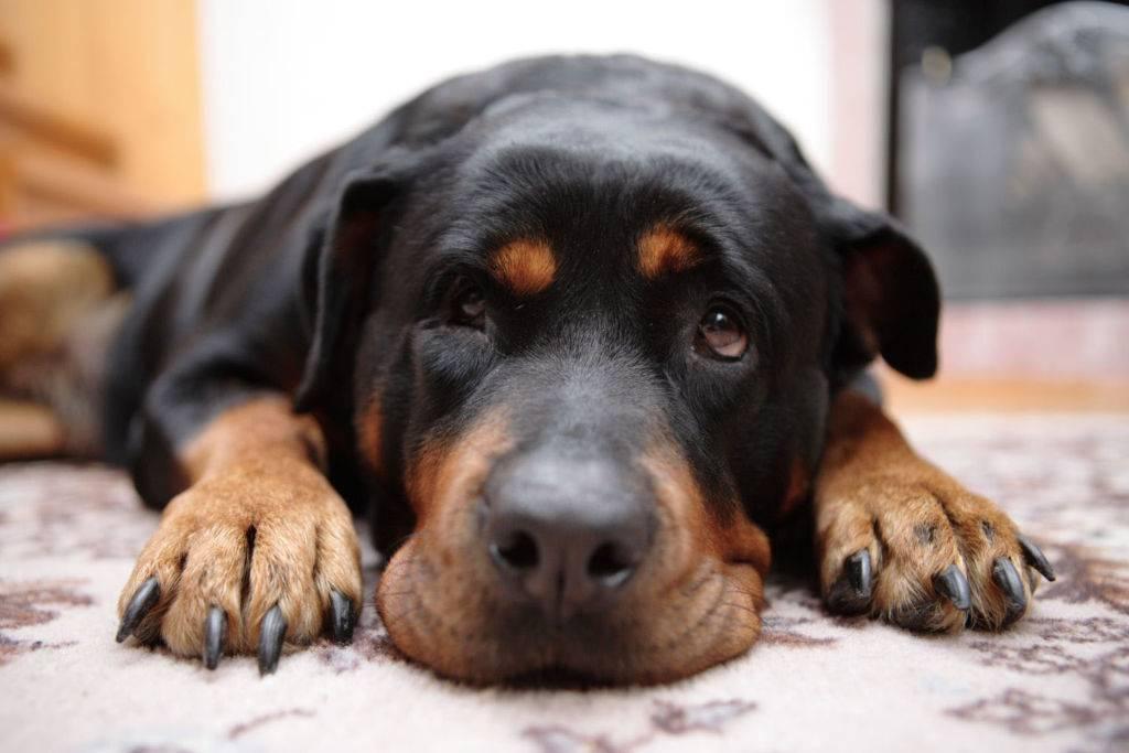 Ложная беременность у собак: признаки, лечение, профилактика