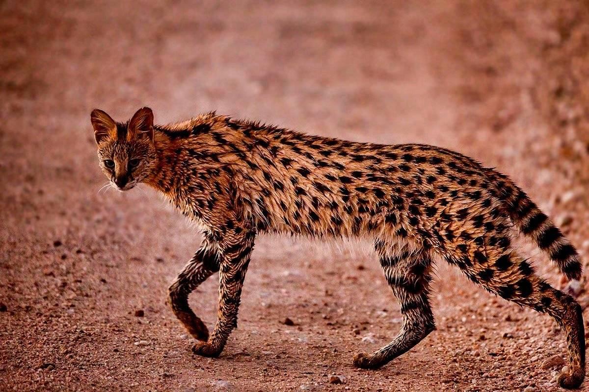 Степной кот: чем отличается дикий современный вид от своего предка и возможно ли приручить дикого степного кота сейчас.