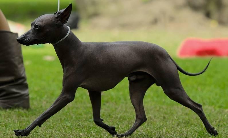 О породе - отличия от других голых собак