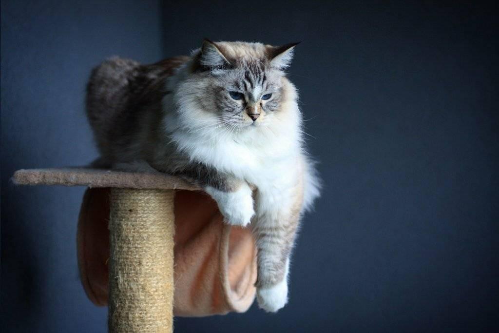 Кошка рэгдолл: стандарт и описание породы, отзывы владельцев