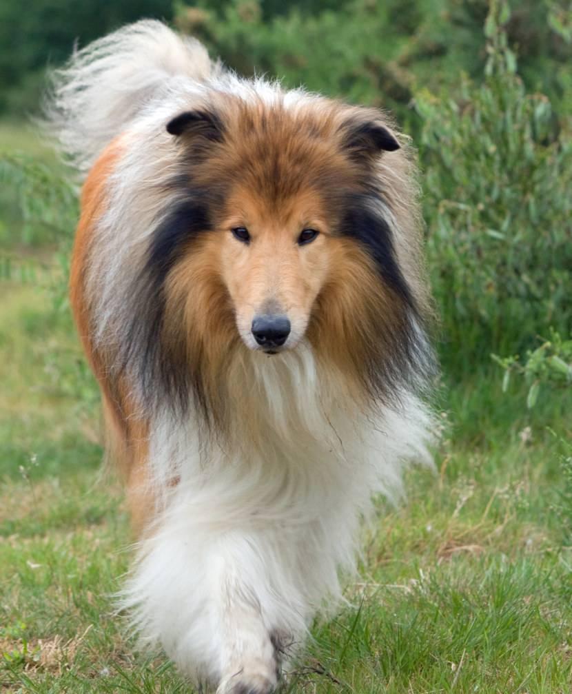 Умная и красивая колли – шотландская овчарка