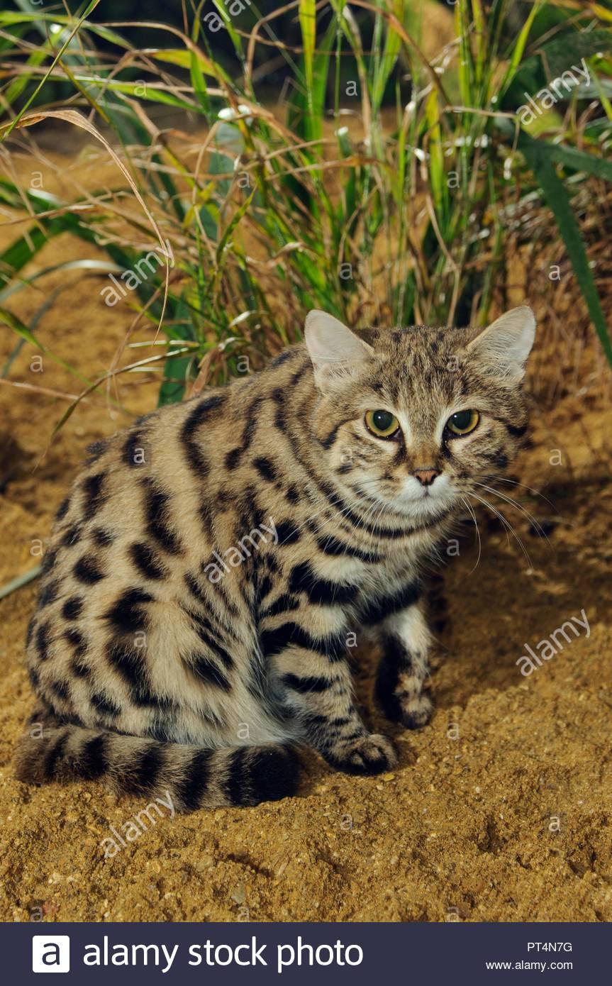 Черноногая кошка (муравьиный тигр): описание породы с фото и видео