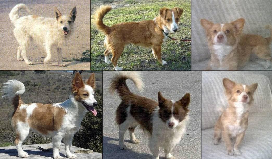 Алопекис собака: описание породы, характеристики и фото