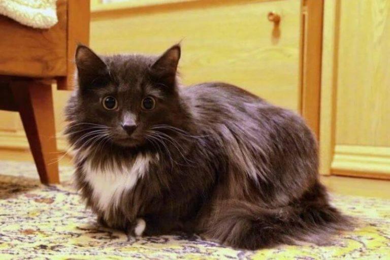 Шантильи-тиффани - описание породы и характер кошки