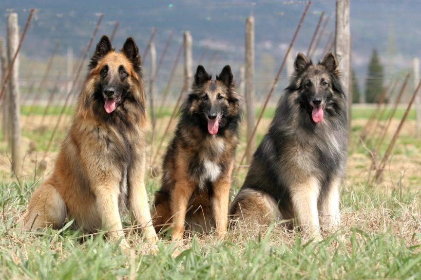 Тервюрен (34 фото): описание щенков бельгийской овчарки, содержание и уход за породой собак