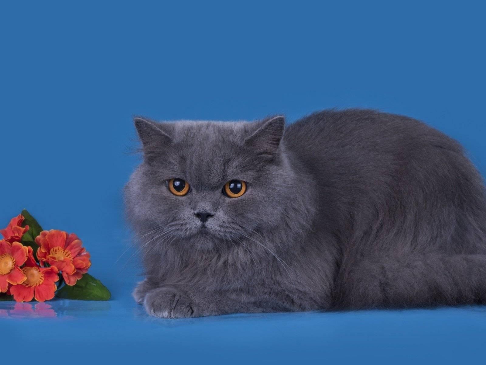 Голубая британская кошка (29 фото): описание британской породы котов, окрас прямоухих британцев, характер котят британских кошек