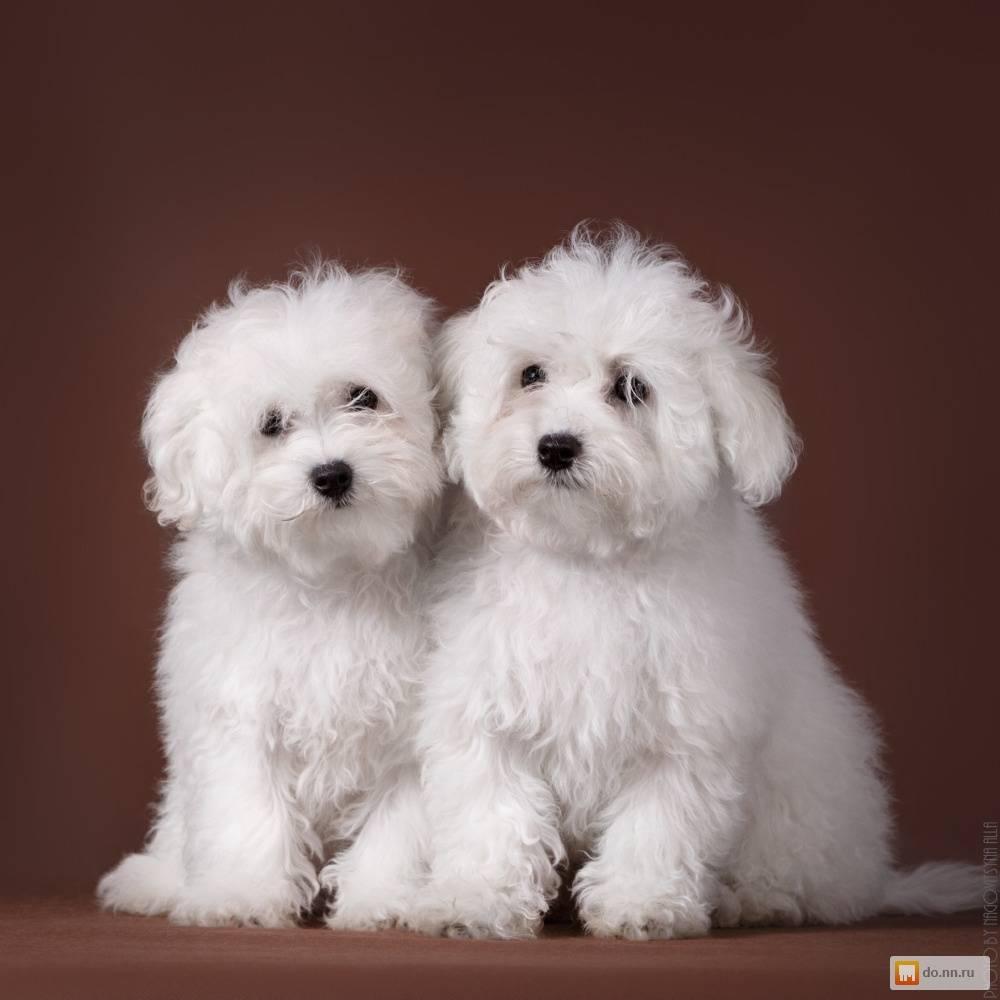 Собака болоньез: характеристика, характер, выбор и уход
